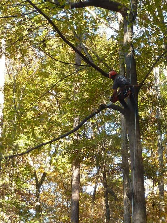 tree climber doing some cabling
